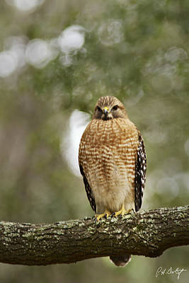Red-shouldered Hawk Poster by Phill Doherty