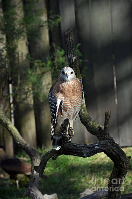 Red Shouldered-hawk Poster by Robert Meanor