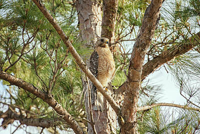 Poster featuring the photograph Red-shouldered Hawk by Zoe Ferrie