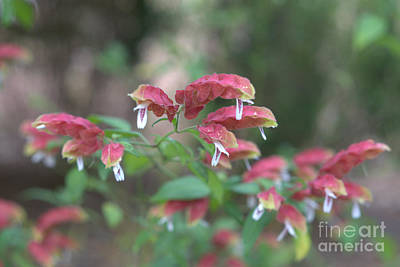 Red Shrimp Plant Poster by Liane Wright