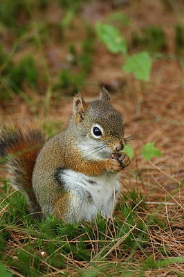 Red Squirrel In Acadia National Park Poster by Acadia Photography