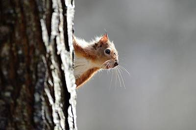 Red Squirrel On A Tree Poster by Colin Varndell