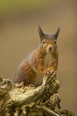 Poster featuring the photograph Red Squirrel by Paul Scoullar