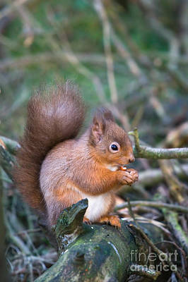 Red Squirrel Poster by Ruth Black