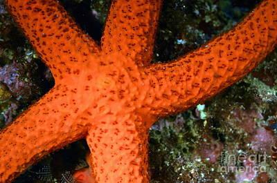Red Starfish Echinaster Sepositus On A Rock Poster by Sami Sarkis