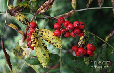 Red Summer Berries - Whistler Poster by Amanda Holmes Tzafrir