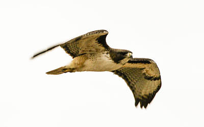 Red Tail Hawk In Flight 4-5-2014 Poster by Renny Spencer