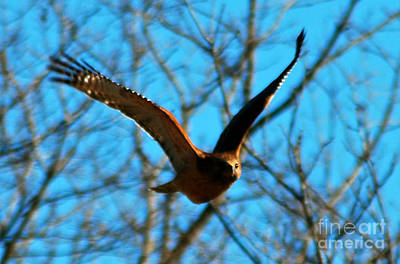 Poster featuring the photograph Red Tail Hawk In Flight by Peggy Franz