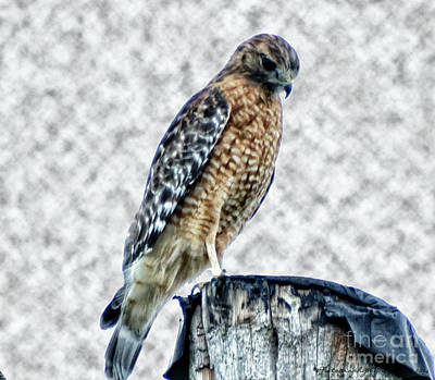 Red Tail Hawk Looking Down Poster