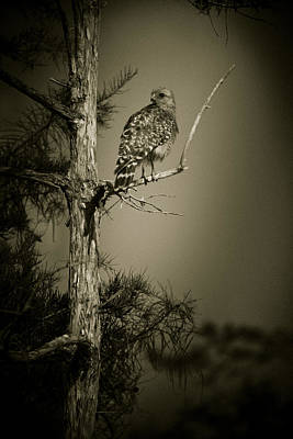 Red Tail Hawk On Loop Road Poster by Bradley R Youngberg