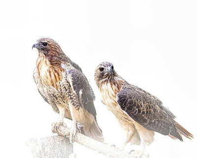 Red Tail Hawk Pair On White Background Poster by Randall Nyhof