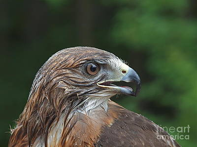 Red Tail Hawk Rain Poster