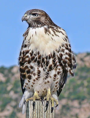 Red Tail Hawk Youth Poster by Jennie Marie Schell