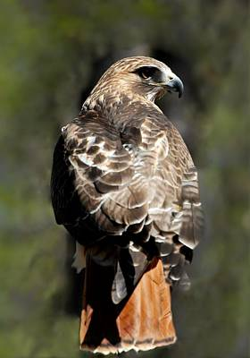 Red Tailed Hawk 289 Poster