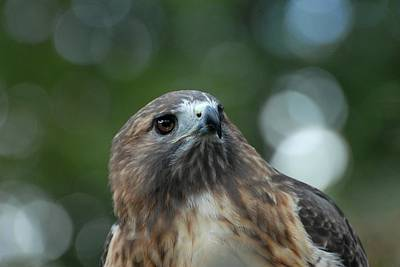 Red Tailed Hawk 297 Poster