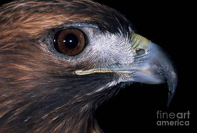 Red-tailed Hawk Poster by Art Wolfe