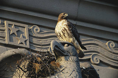 Red-tailed Hawk At Nest Poster by Paul J. Fusco