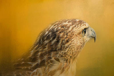 Red Tailed Hawk At Sunset Poster by Jai Johnson