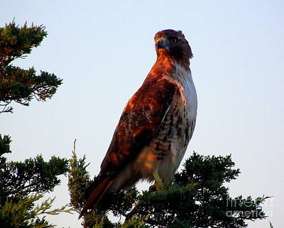 Red-tailed Hawk  Poster by CapeScapes Fine Art Photography