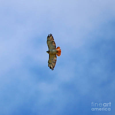 Red Tailed Hawk In Flight  0304 Poster by Jack Schultz