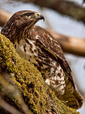 Red Tailed Hawk - On The Lookout Poster by Elaine Snyder
