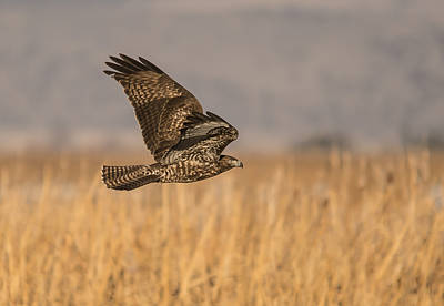 Red Tailed Hawk On The Move Poster by Loree Johnson