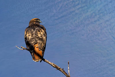 Red-tailed Hawk Out On A Limb Poster by Kathleen Bishop
