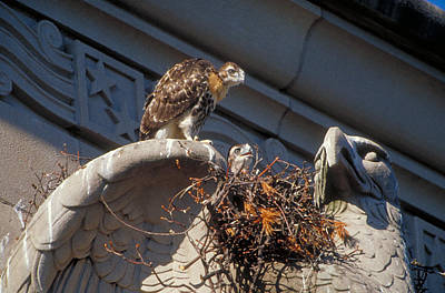 Red-tailed Hawk Poster by Paul J. Fusco