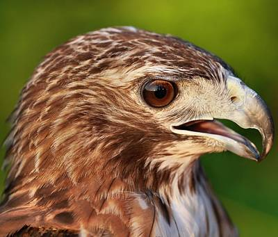 Red Tailed Hawk Portrait Poster by Dan Sproul