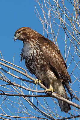 Red-tailed Hawk Watching The Ducks Poster
