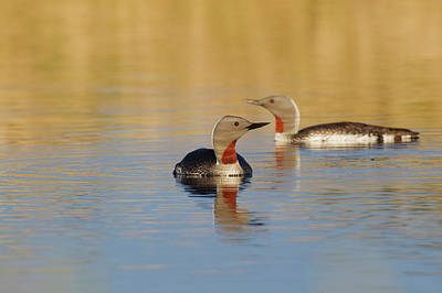 Red-throated Loon Pair Poster
