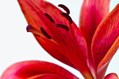 Red Tiger Lily Poster