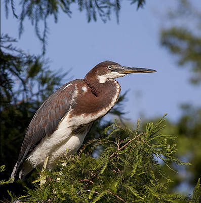 Poster featuring the photograph Red Tricolor Heron I by Kathy Ponce