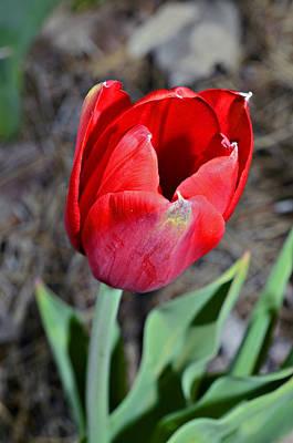 Red Tulip In Garden Poster by Susan Leggett
