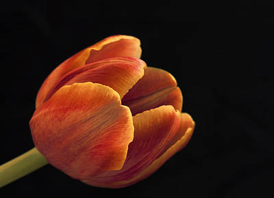 Poster featuring the photograph Red Tulip by Kim Andelkovic