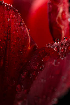 Red Tulip Poster by Steve Gadomski