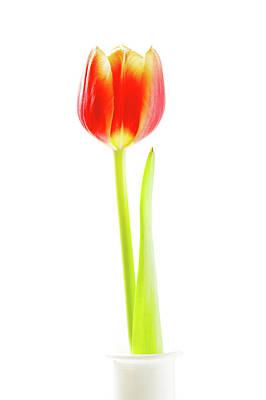 Red Tulip Poster by Wladimir Bulgar