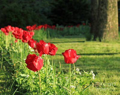 Poster featuring the photograph Red Tulips by Jose Oquendo