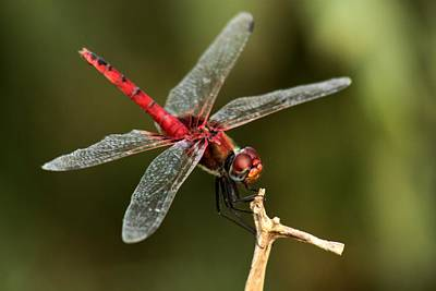 Red-veined Darter  - My Joystick Poster
