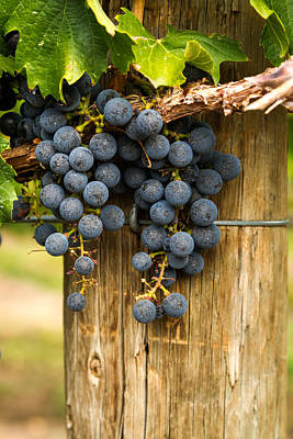 Red Wine Grapes Poster by Teri Virbickis