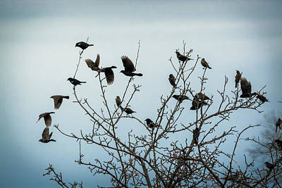 Red Winged Blackbirds Poster