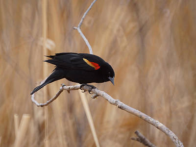 Red Winged Blackbird 1 Poster by Ernie Echols
