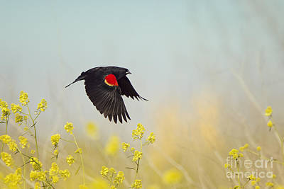 Red Winged Blackbird In Flight Poster