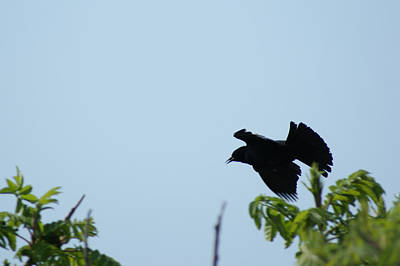 Red Winged Blackbird In Taking Off Poster by Andrew Lahay