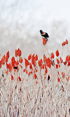 Red Winged Blackbird On Sumac Poster