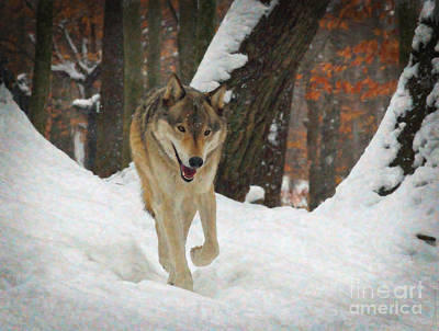 Poster featuring the digital art Red Wolf On A Winter Hunt by Lianne Schneider