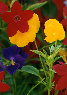 Red Yellow Purple Flowers Poster