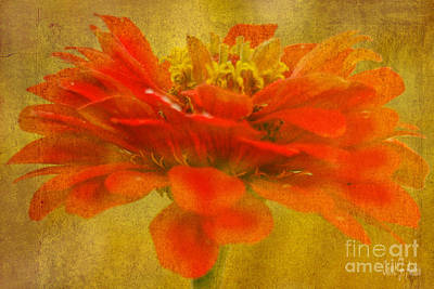 Red Zinnia Essence Poster