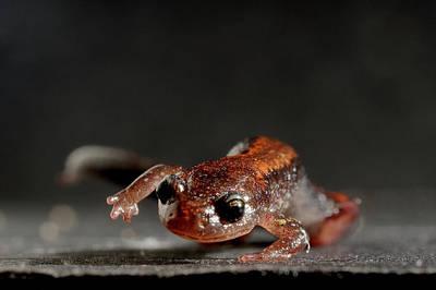 Redback Salamander Plethodon Cinereus Poster