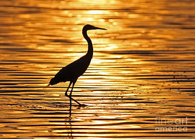 Reddish Egret At Sunset Poster